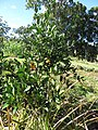Starr-170923-0286-Citrus reticulata-Satsuma immature fruiting habit young tree in home orchard-Hawea Pl Olinda-Maui - Flickr - Starr Environmental.jpg