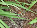 Starr-180906-0598-Megathyrsus maximus-with Familiar Bluet Enallagma civile-Honokowai-Maui (30875386757).jpg