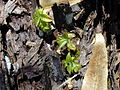 Starr 020518-0018 Cinchona pubescens.jpg