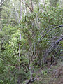 Starr 031023-0002 Pleomele auwahiensis.jpg