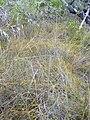 Starr 031108-2124 Cassytha filiformis.jpg