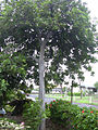 Starr 031204-0008 Cupaniopsis anacardioides.jpg