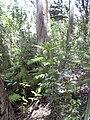Starr 040812-0063 Araucaria columnaris.jpg
