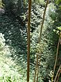 Starr 041113-0682 Hedychium sp..jpg