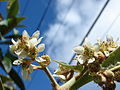 Starr 061201-1791 Eriobotrya japonica.jpg