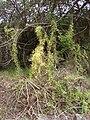 Starr 070621-7399 Asparagus asparagoides.jpg