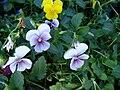 Starr 080103-1136 Viola sp..jpg