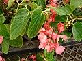 Starr 080117-1520 Begonia sp..jpg