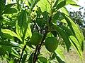 Starr 080405-3957 Prunus salicina.jpg
