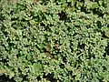 Starr 080415-4006 Polycarpon tetraphyllum.jpg