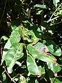 Starr 090213-2437 Syzygium cumini.jpg