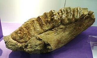Stegolophodon - Tooth of Stegolophodon latidens