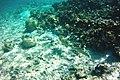 Stegostoma fasciatum, ou requin-léopard.jpg