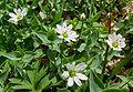 Stellaria ruscifolia 01.jpg