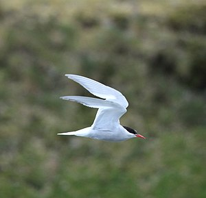 Antarctic tern - Flying over St Andrews Bay, South Georgia, British Overseas Territories