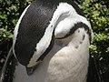 Stony Point Penguin Colony - panoramio (15).jpg