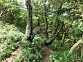 Strange beech at Mt.watamuki01.jpg