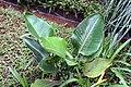 Strelitzia reginae 23zz.jpg