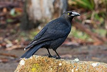 A black crow-like bird with a heavy bill and yellow eyes sits on a rock with some bushland in the background.