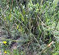 Suaeda fruticosa Nahe SebKel 002.jpg
