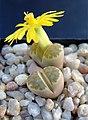 Succu Lithops dorotheae C124 01.jpg