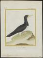 Sula leucogaster - 1700-1880 - Print - Iconographia Zoologica - Special Collections University of Amsterdam - UBA01 IZ18000065.tif
