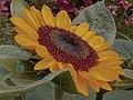Sunflower during graduation season in U.P. Diliman, Quezon City.jpg