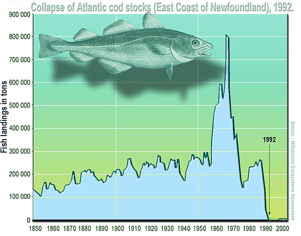 Atlantic cod stocks were severely overfished in the 1970s and 1980s, leading to their abrupt collapse in 1992 Surexploitation morue surpecheEn.jpg