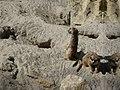 Suricata-suricatta-8.jpg