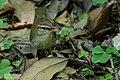 Swainson's Warbler Hooks Wood High Island TX 2018-04-11 09-59-14 (41092446614).jpg