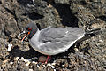 Swallow-tailed gull with egg.JPG