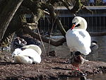 File:Swan couple during Winter Großer Garten 102958523.jpg