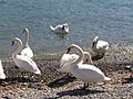 Swans (301111801).jpg