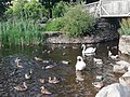 Swans and ducks.jpg