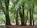 Sweet chestnut trees in shade - geograph.org.uk - 176076.jpg