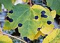 Sycamore Tarspot - Rhytisma acerinum (44454629580).jpg