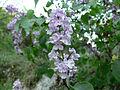 Syringa vulgaris Bulgaria 4.jpg