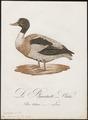 Tadorna cornuta - 1800-1812 - Print - Iconographia Zoologica - Special Collections University of Amsterdam - UBA01 IZ17600283.tif