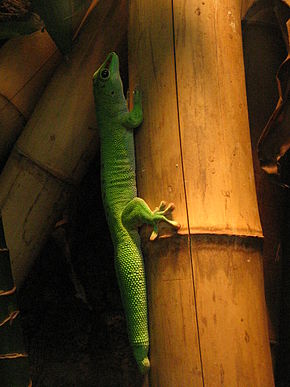 Description de l'image Taggecko Phelsuma madagascariensis grandis.jpg.