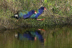 The South Island Takahē