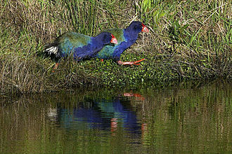 South Island takahē - Takahē released at Maungatautari Restoration Project ecological island, Waikato district, North Island in June 2006.