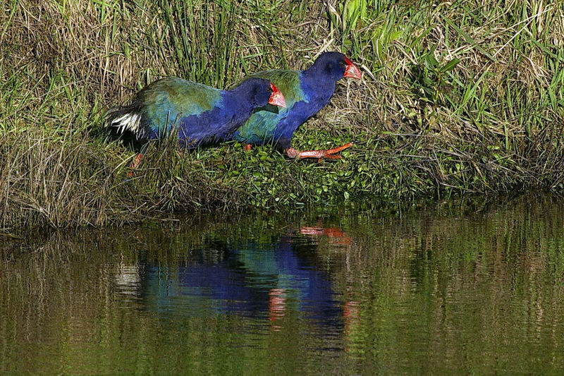 Takahe Maunga