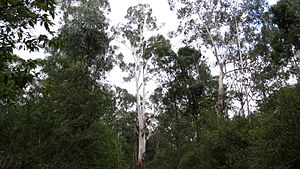 Coopracambra National Park - Eucalypts in the national park