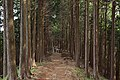 Tanzawa's Sugi forest (49442625462).jpg