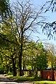 Tarasove Lutskyi Volynska-Group of oaks-giant-view from road.jpg