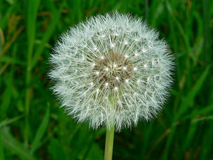 Taraxacum - A dandelion flower head composed of numerous small florets (top). The seed head is shown below it.