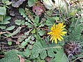 Taraxacum officinale - Commmon Dandelion at Chelela Pass during LGFC - Bhutan 2019 (4).jpg