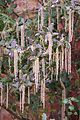 Tatton Park 2015 50 - Garrya elliptica.jpg