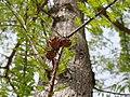 Taxodium distichum. Ciprés de güeria (fueyes y piñes).jpg