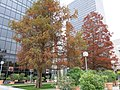 Taxodium distichum in la Defense.jpg